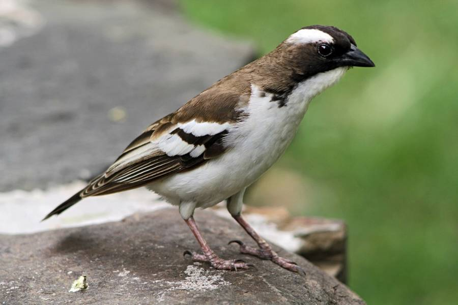 White And Brown Sparrow Posing On Rock