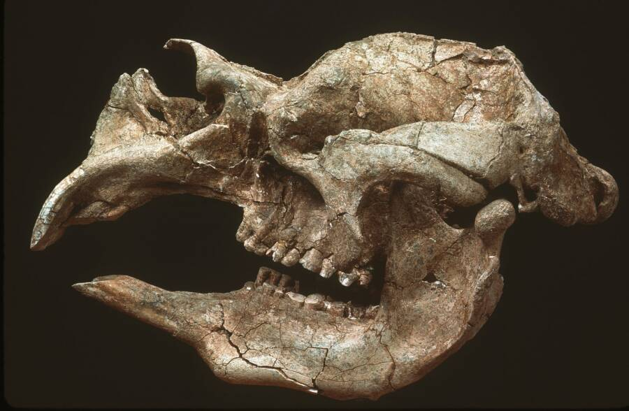 Skull Of The Giant Wombat