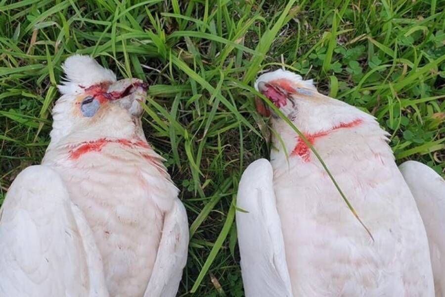 Bloody Corellas