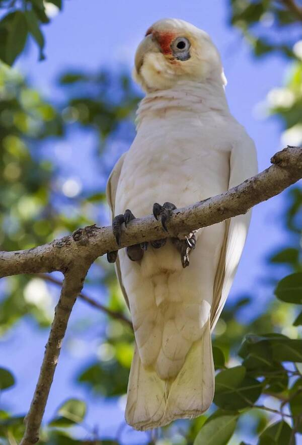Corella In Tree