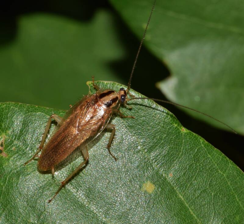 German Cockroach On A Leaf