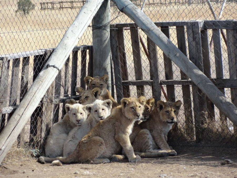 Lion Cubs At Big Cat Farm