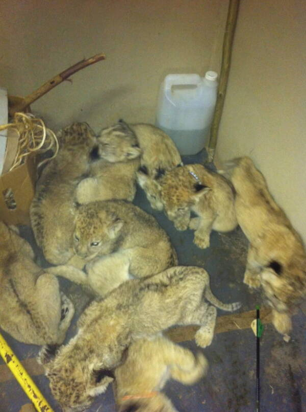 Lion Cubs Held Prisoner