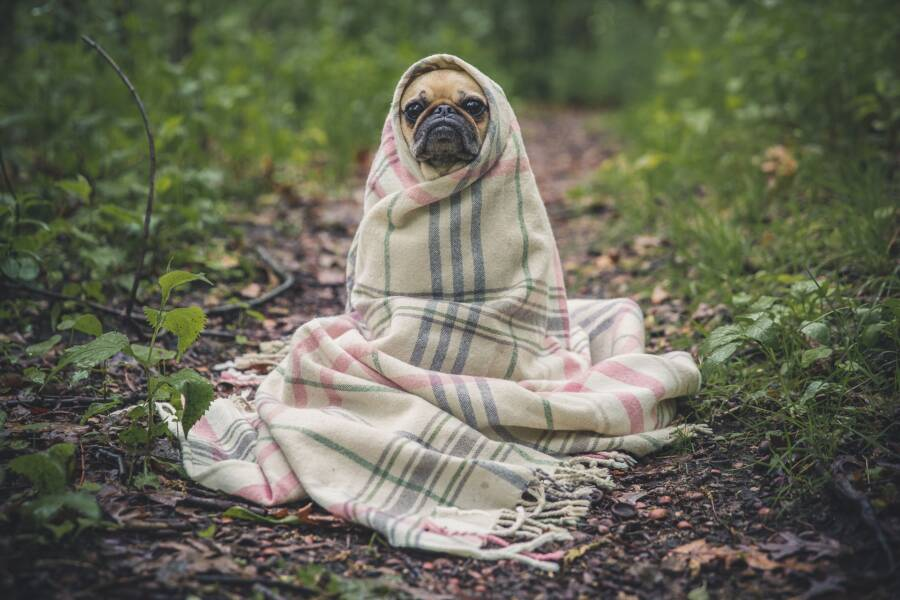 Pug Dog Wrapped In Blanket
