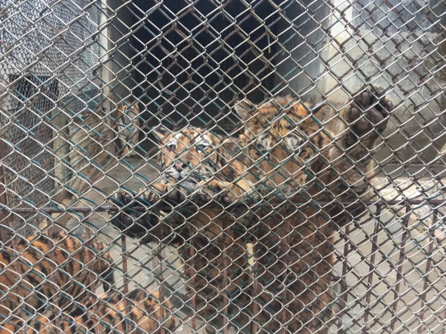 Tiger Cubs Behind Bars