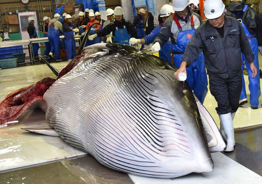 Workers Pour Sake On Whale