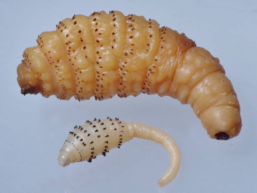 What Is A Botfly Maggot: Nature's Most Disturbing Parasite