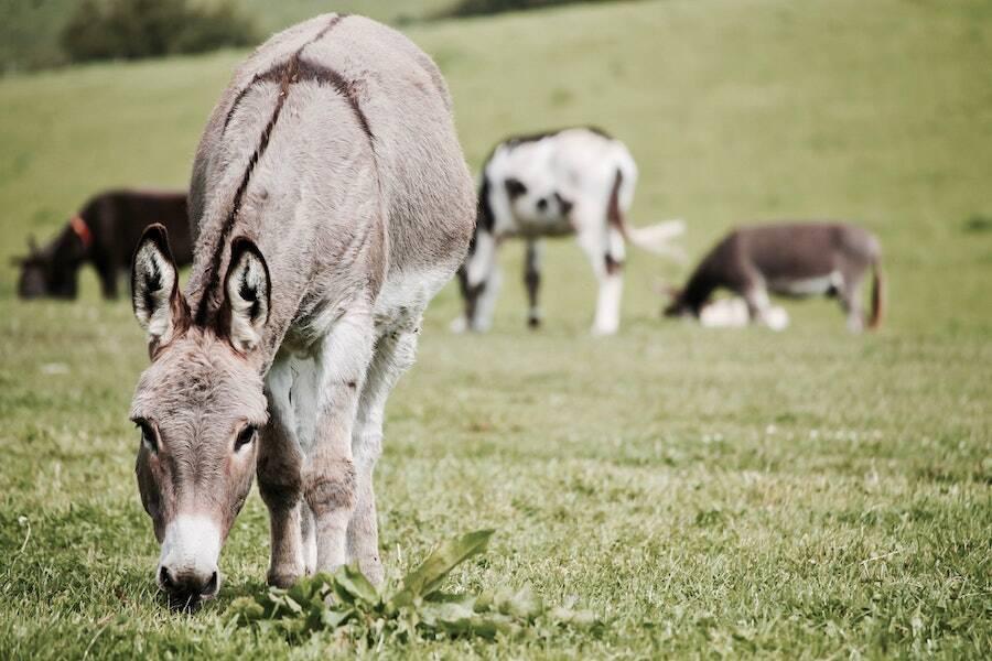 Donkey Grazing Grass
