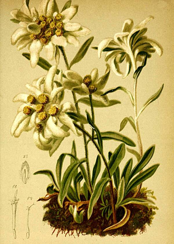 Edelweiss Flower Sketch