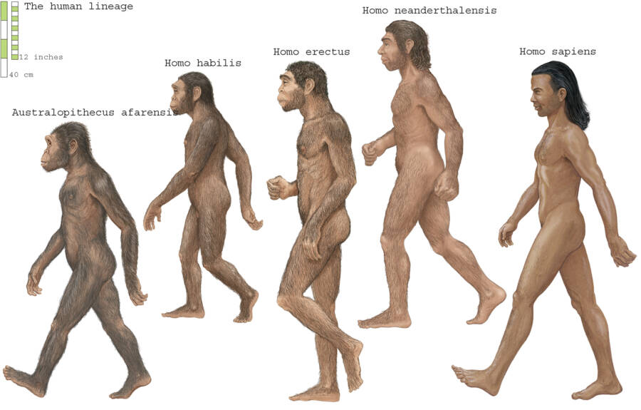 Illustration Of Various Human Species