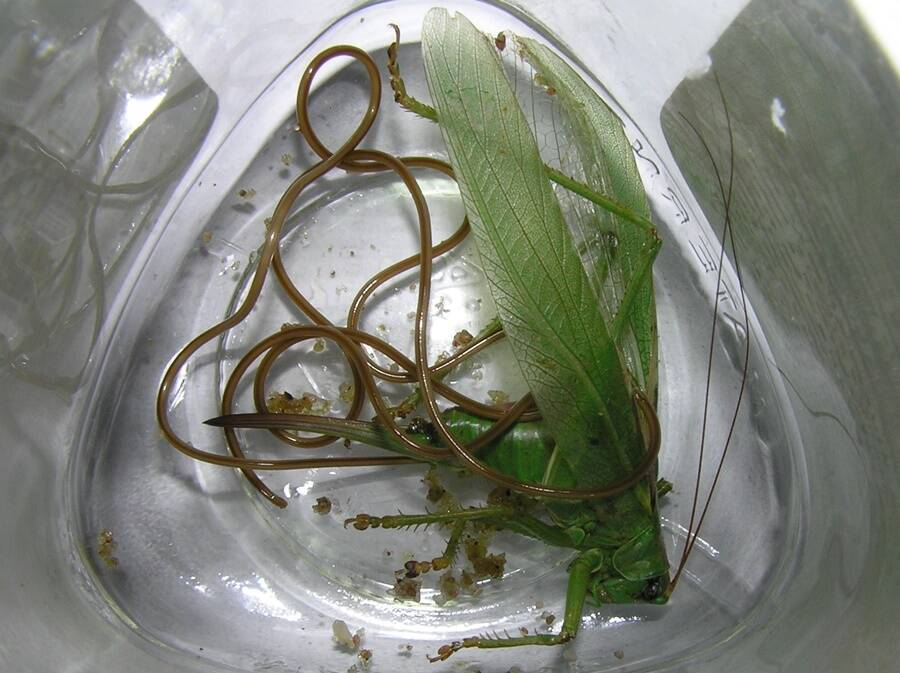 Mermis Nigrescens Roundworm