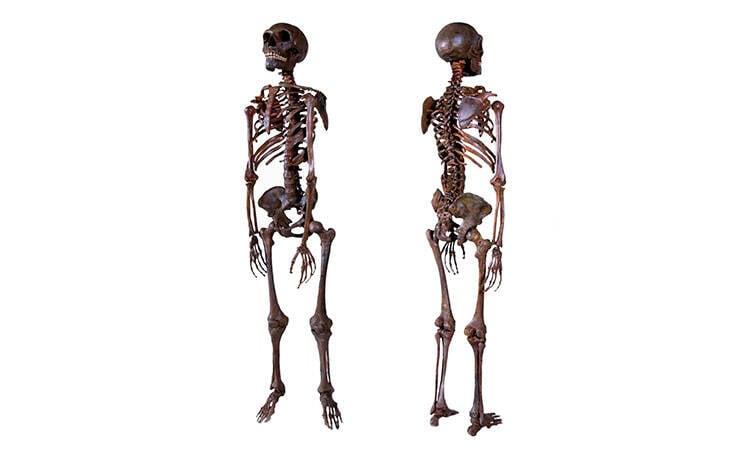 Model Of Neanderthal Skeleton
