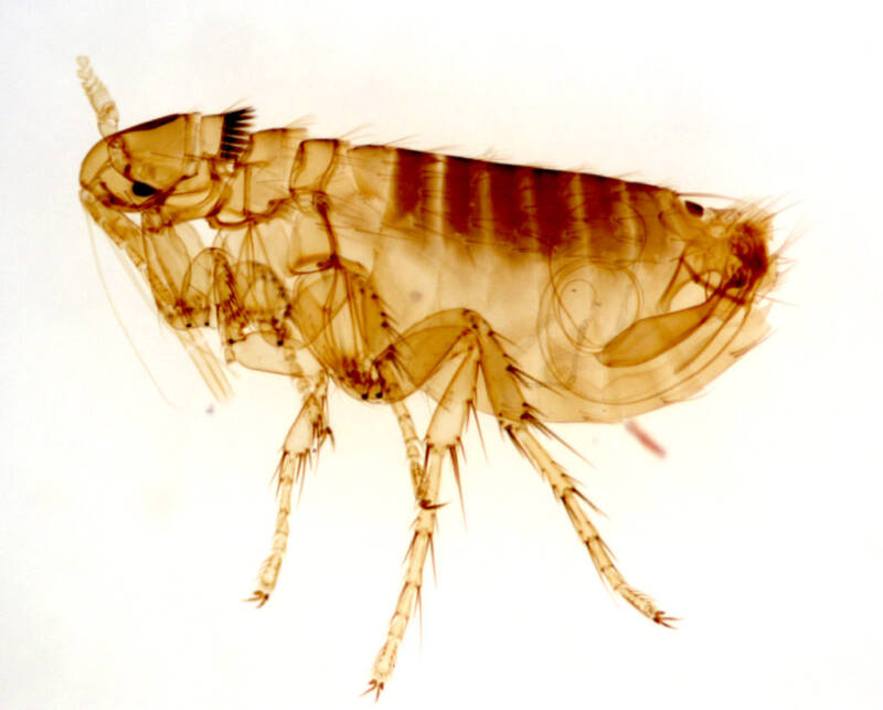 Oropsylla Montana Flea
