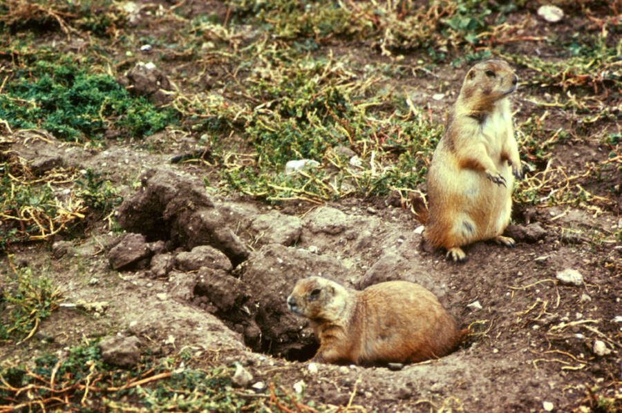 Prairie Dogs And Their Burrow Entrance