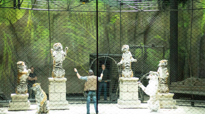 Tigers Performing In A French Zoo