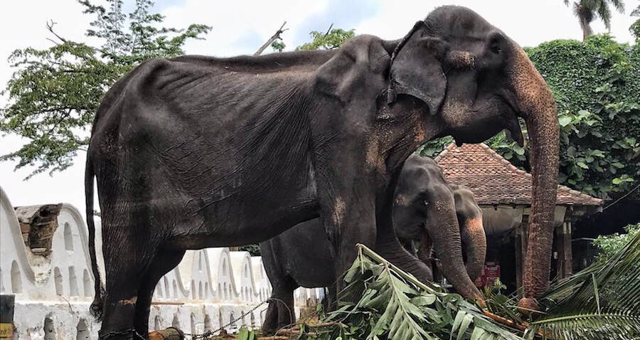 Emaciated Elephant Forced To March In Sri Lankan Parade Shocks The World