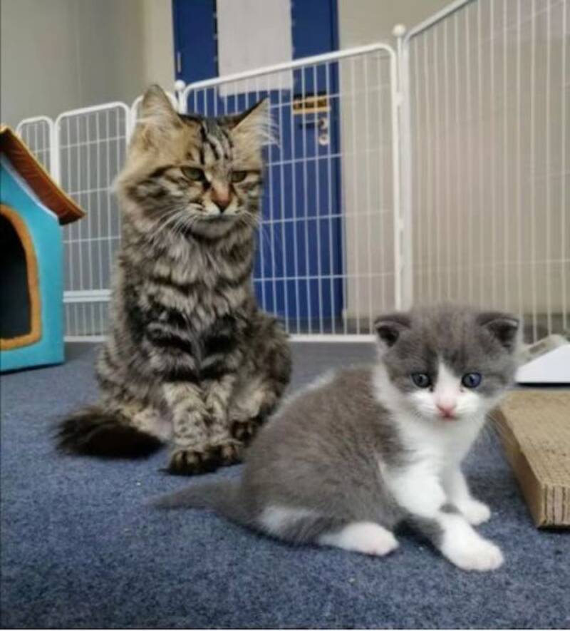 Cat Clone With Surrogate Mother