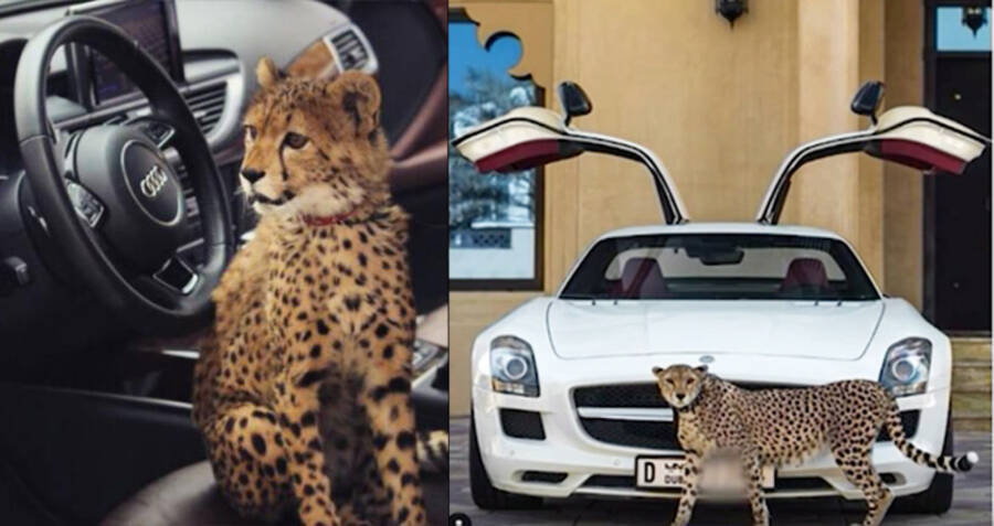 Pet Cheetahs