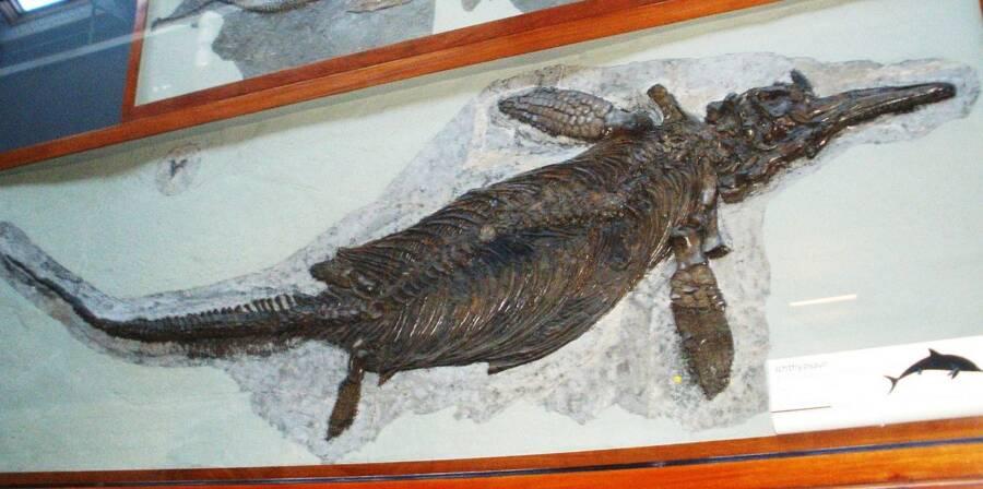 Ichthyosaurus Fossil