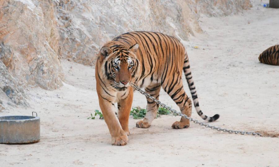 Kanchanaburi Tiger Temple Tiger