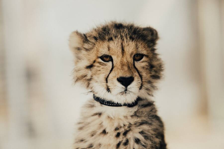 Pet Cheetah With Collar