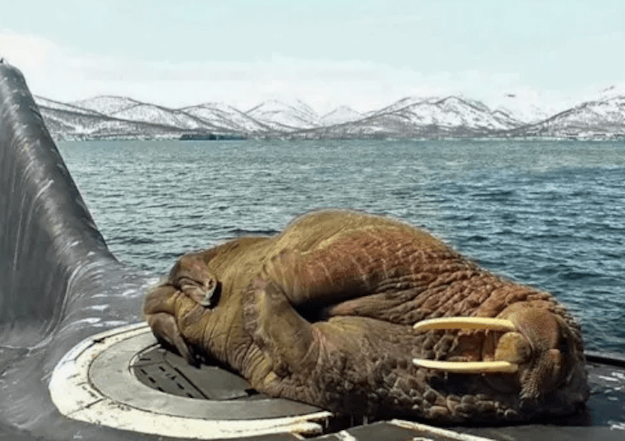 Walrus Sleepin On Submarine