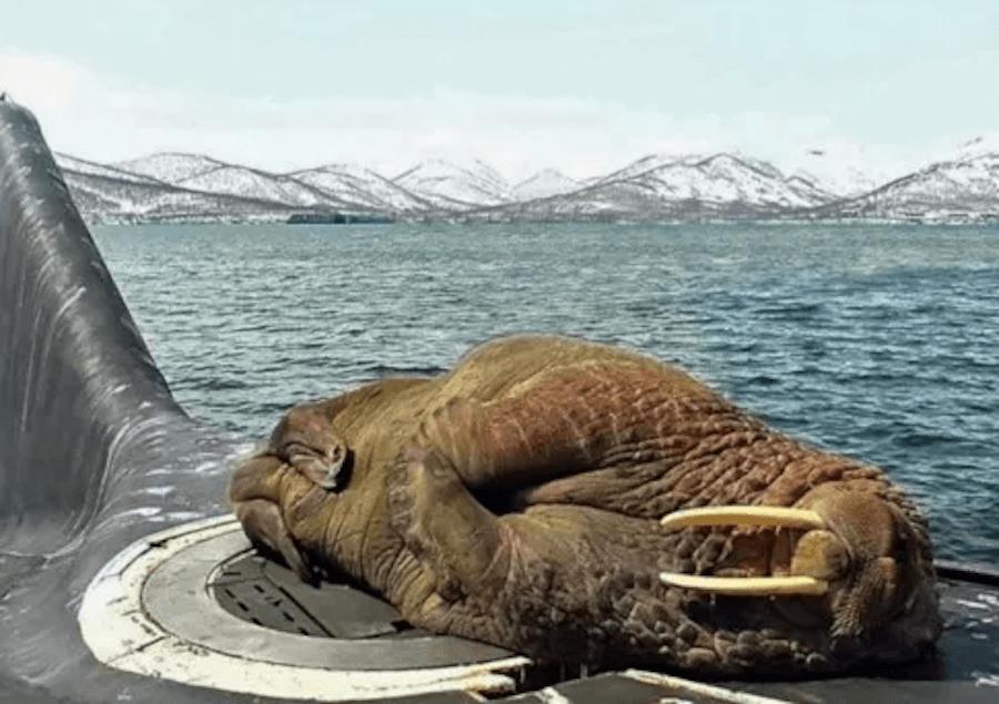 Walrus Sleepin On Submarine