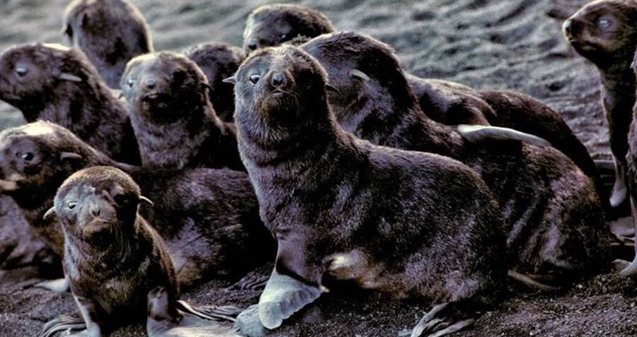 bunch-of-fur-seal-babies.jpg