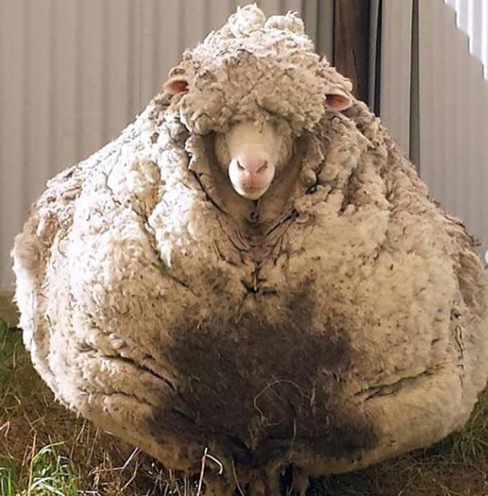 Wool On Chris The Sheep