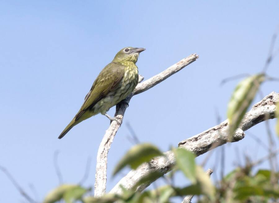 Female Bellbird