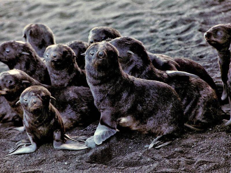 Group Of Fur Seal Babies