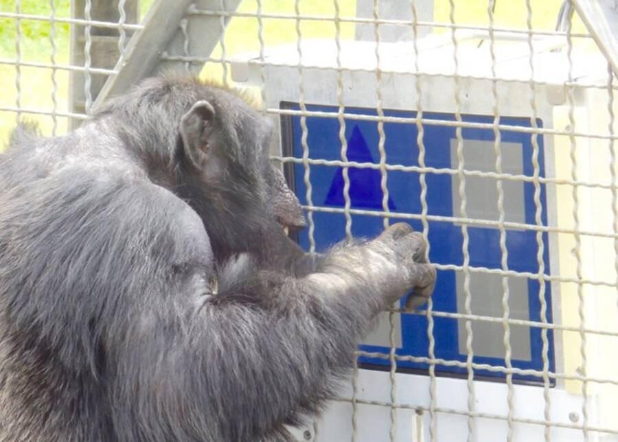Monkey Playing Computer Game