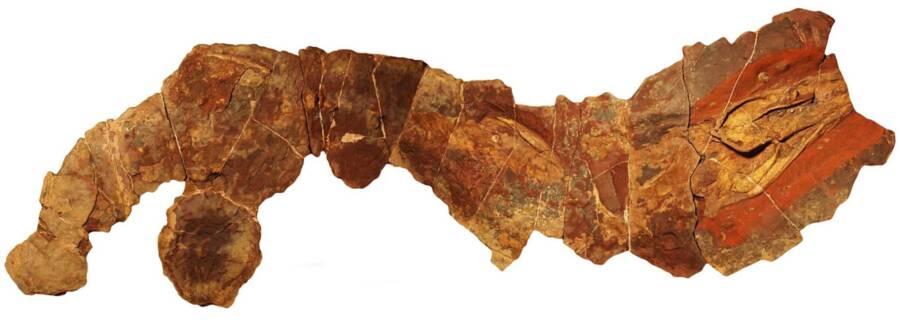Phoebodus Shark Fossil