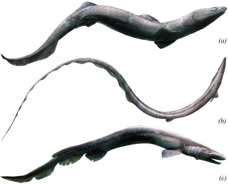 Phoebodus Species And Frilled Shark
