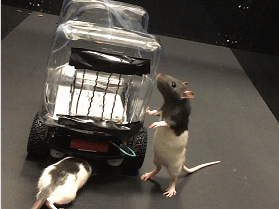 Rats Sniffing A Car