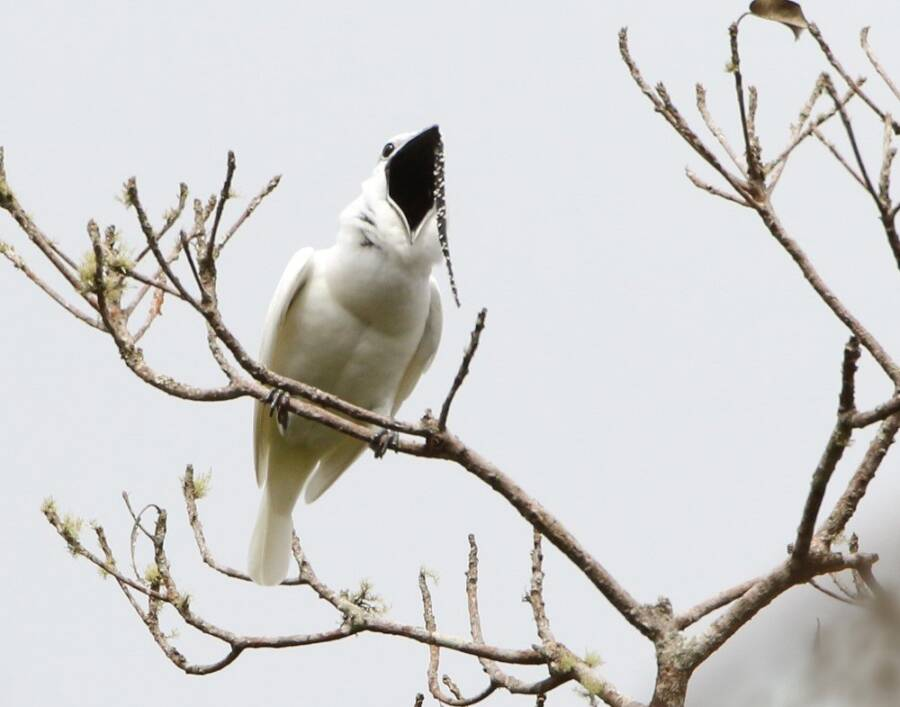 Singing White Bellbird