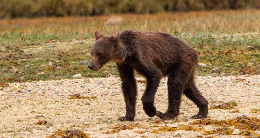 Bone-Thin Grizzly Bears Starve As Climate Change And Farming Decimate Salmon Population