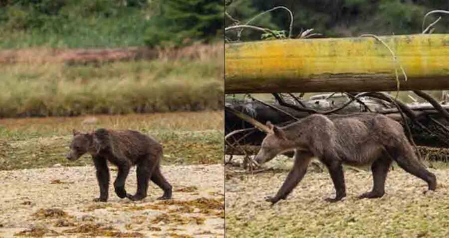 Starving Bear