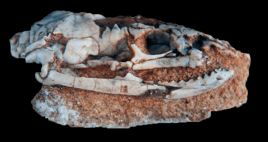 This 95-Million-Year-Old Skull Is From An Ancient Snake That Had Legs