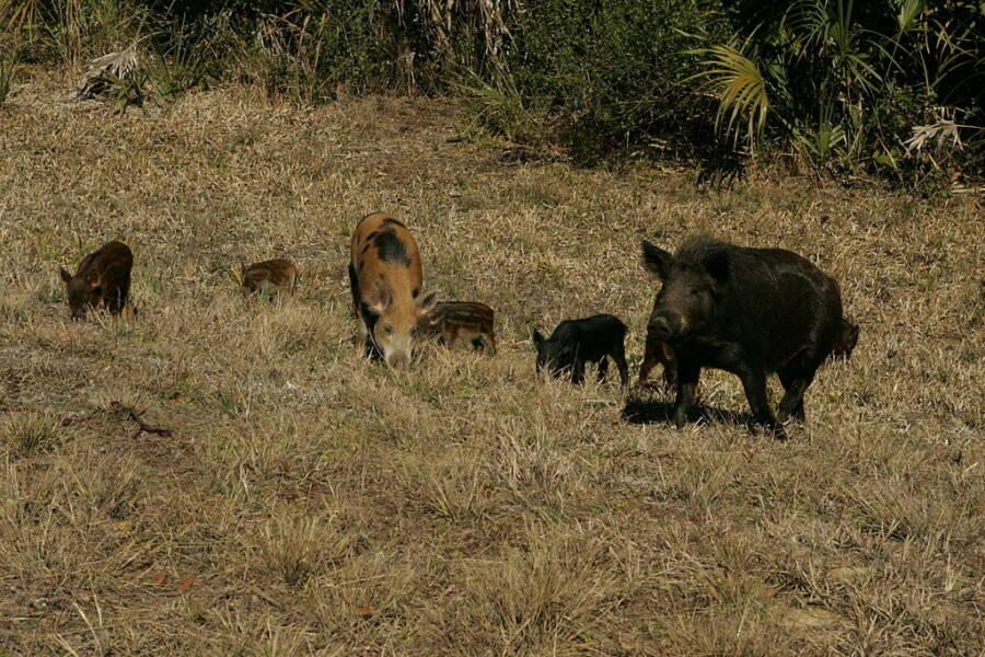 Family Of Feral Hogs