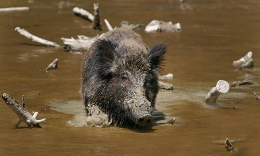 Feral Hog Wading In The Water