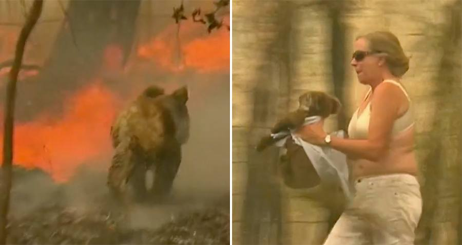 Woman Literally Pulls Shirt Off Her Back To Rescue A Trapped Koala From An Australian Bushfire