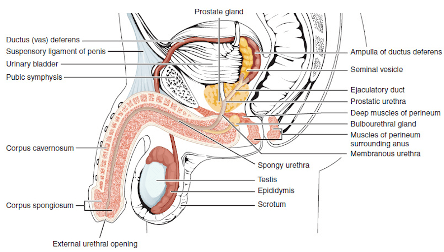 Lateral Cross Section Of Male Reproductive System