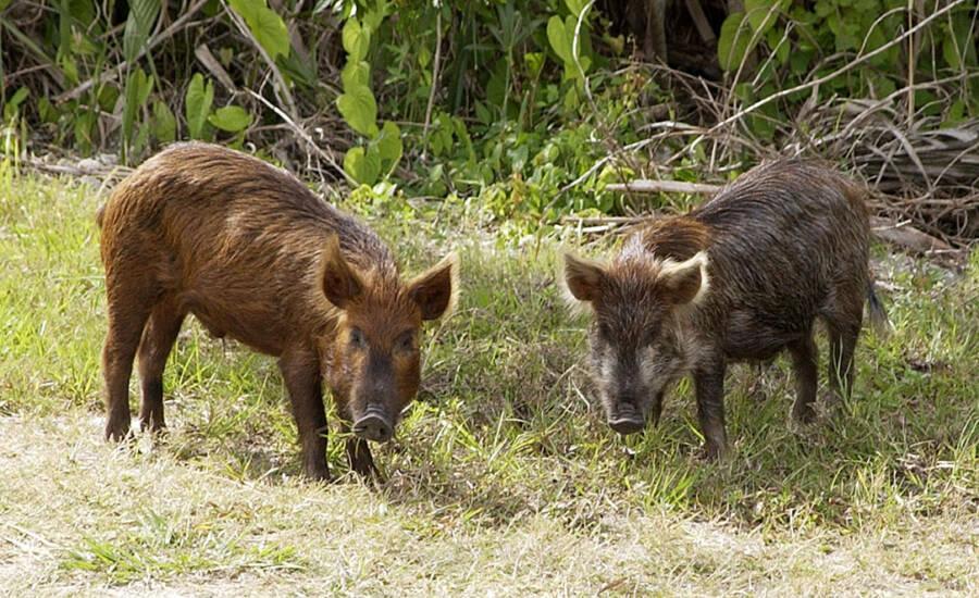 Wild Boars Standing Still