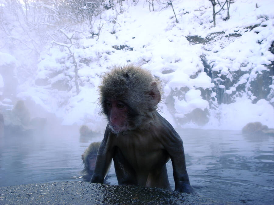 Baby Snow Monkey Springs
