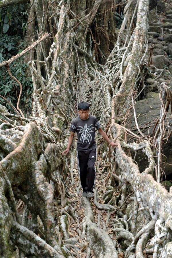 Man Walking On A Tree Root Bridge