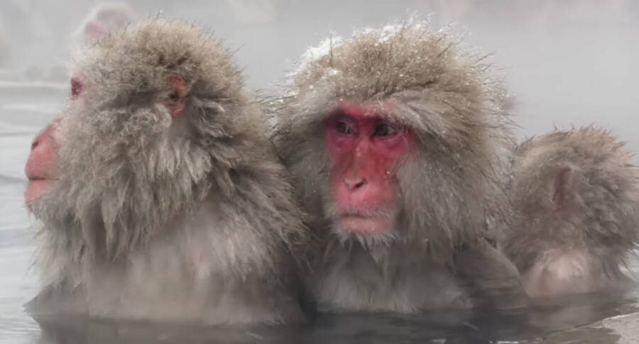 Japanese Snow Monkeys In A Hot Spring
