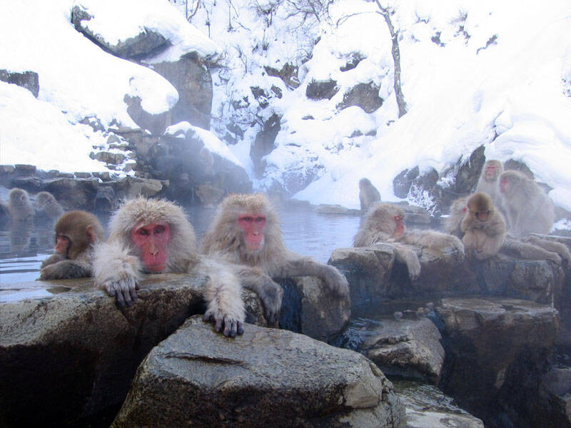 Jigokudani Hot Spring Monkeys
