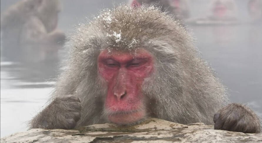 Monkeys In Japan Soaking In A Hot Spring