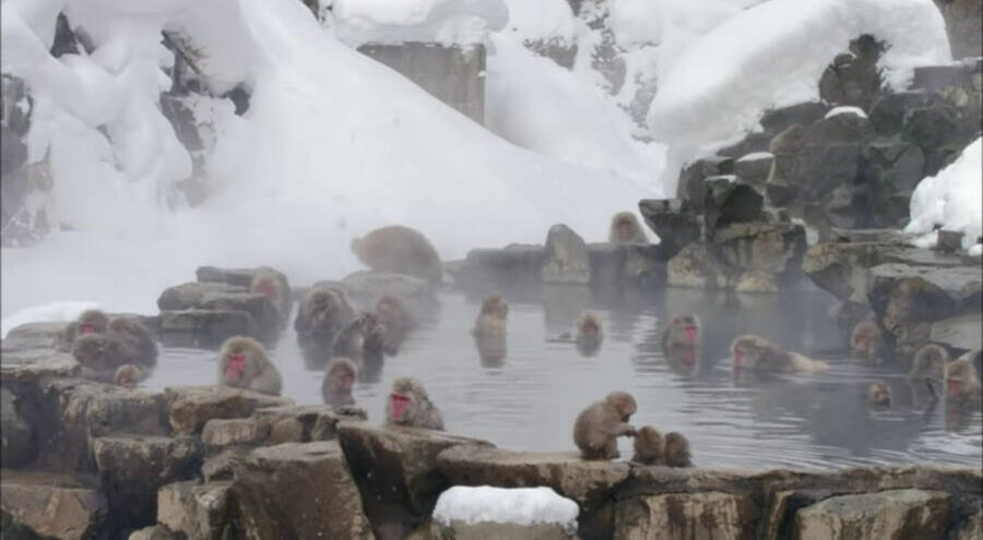 Monkeys In Japan Taking Communal Hot Spring Bath